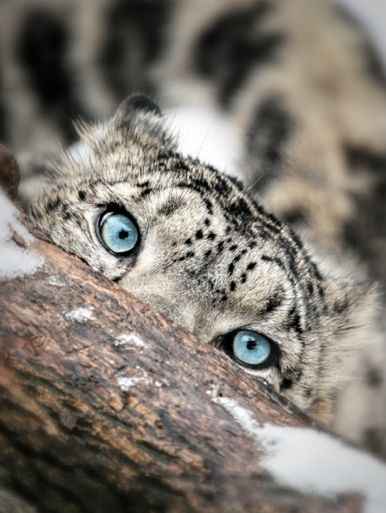 I  love taking inspiration for design from nature.  So imagine a room with upholstery in the colors of the snow leopard and then the accents in the color of his eyes