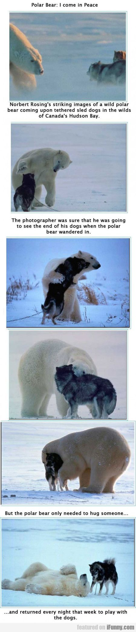 Forgetting this one awesome adorable thing if u ever see a wild polar bear ur gonna die