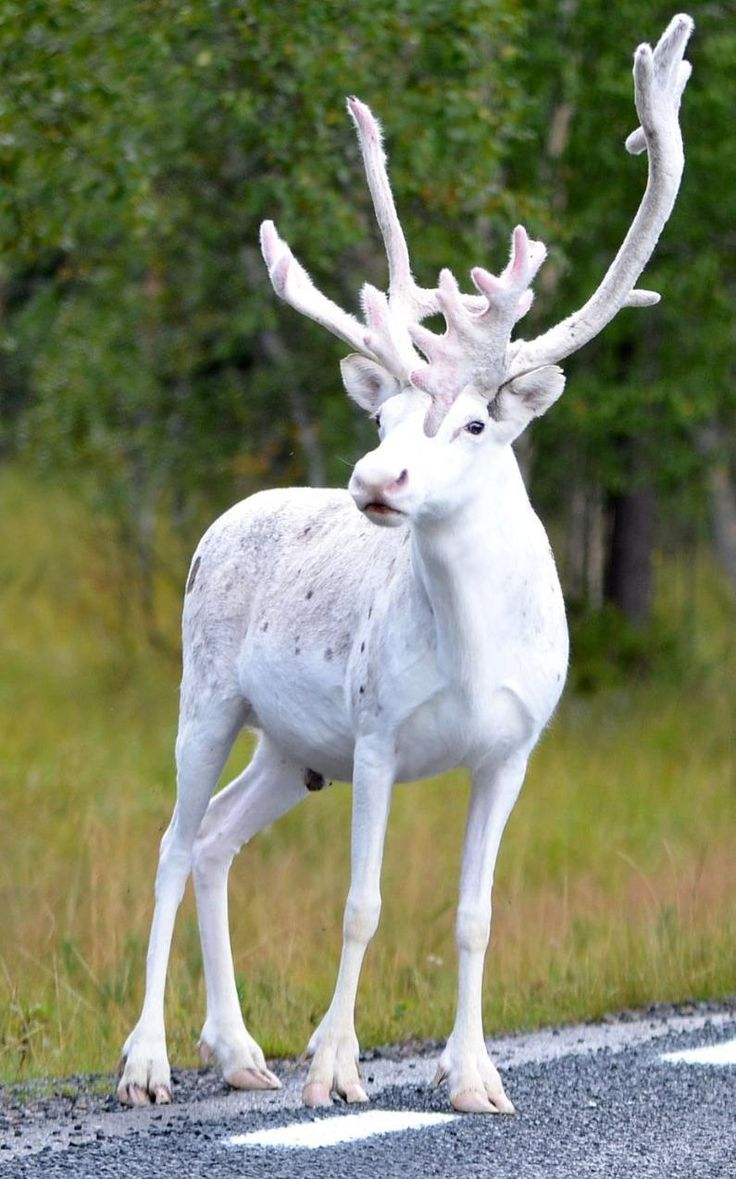 Christmas Come Early! A rare white reindeer spotted in northern Sweden by Ivo Poijo