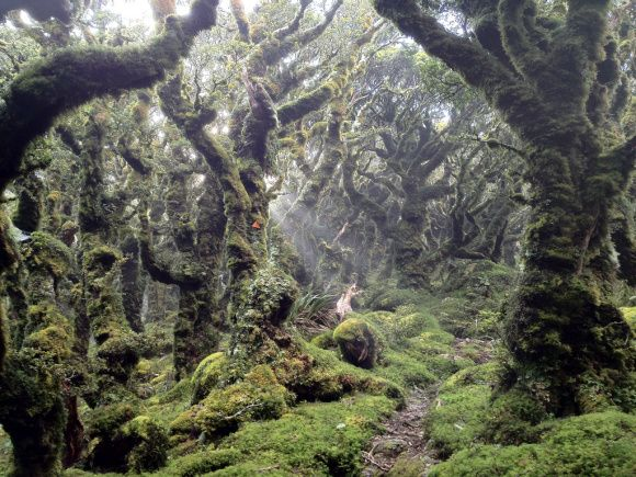 South Island beech forest.  Photo: Shannan Mortimer | CC-BY-NC-SA 2.0