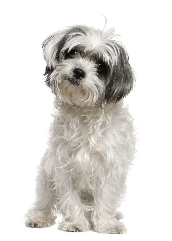 The Energetic Auss Tzu Is A Mix Of The Headstrong Little Shih Tzu And The Fun Loving Miniature Australian Shepherd Mi Dog Mixes Miniature Dog Breeds Shih Tzu