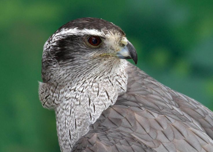 northern goshawk face pictures   http://www.atozpictures.com/northern-goshawk-pictures