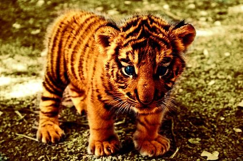 baby tiger :3