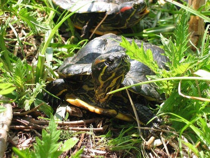 Ces 37espèces qui nous envahissent - Edition du soir Ouest France - 29/04/2016 Une tortue de Floride. (Photo : Wikimédia)