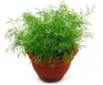 ディルはセリ科の一年草です。春と秋に種をまきますが、秋に種を巻く方が長く楽しめます。