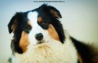 www.martinaburianova.cz Dogs - Australian Shepherd Dog - Asola, Italy