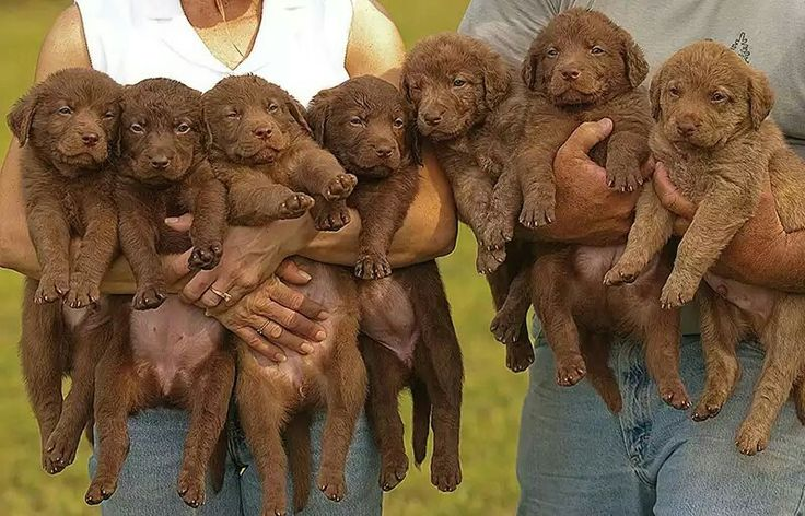 chesapeake bay retriever puppies