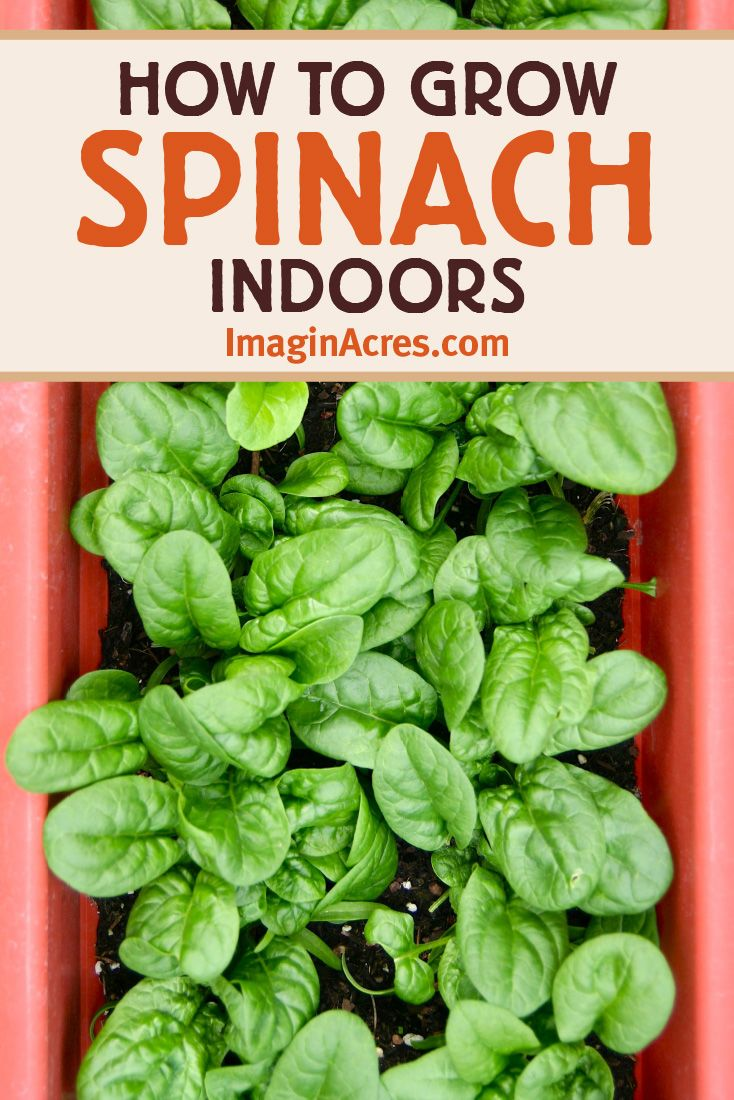 How To Grow Spinach Indoors Imaginacres Growing Spinach Growing Food Indoors Indoor Vegetable Gardening