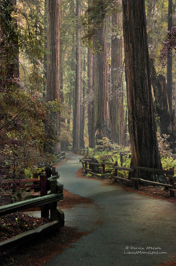 Ancient Redwood Forest by Darvin Atkeson    The small grove of Redwoods known as John Muir National Monument.Mills Valley, John Muir, National Monuments, California, Sanfrancisco, Beautiful Places, Redwood Forests, San Francisco, Muir Woods