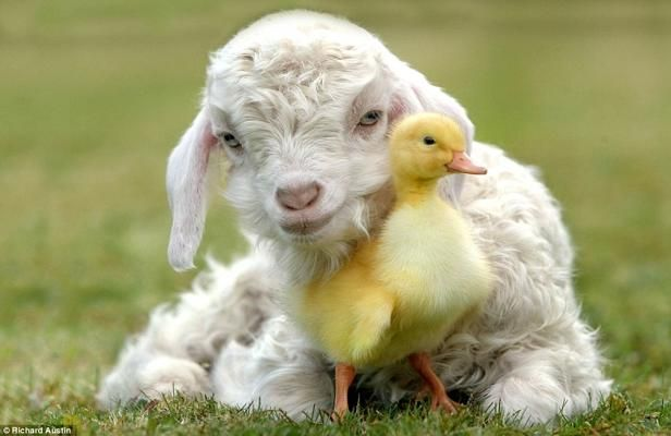 goat kid nuzzles up to a duckling