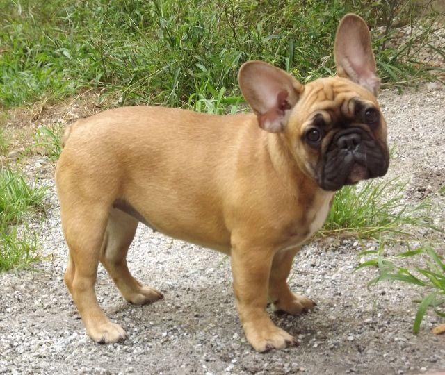 american french bulldog - photo #23