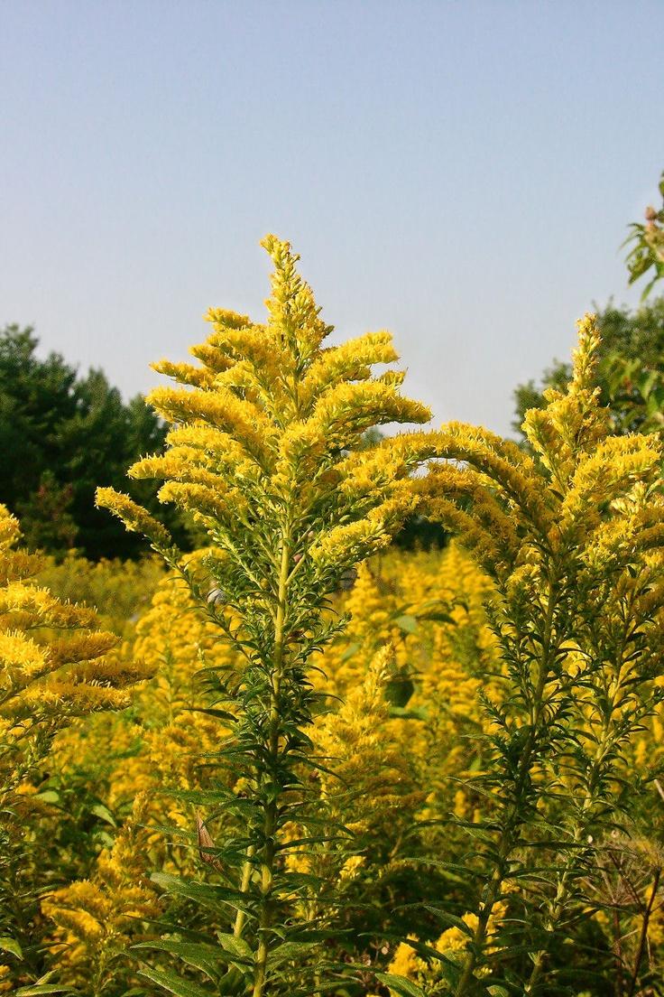 Kentucky State Flower Goldenrod Kentucky Stuff