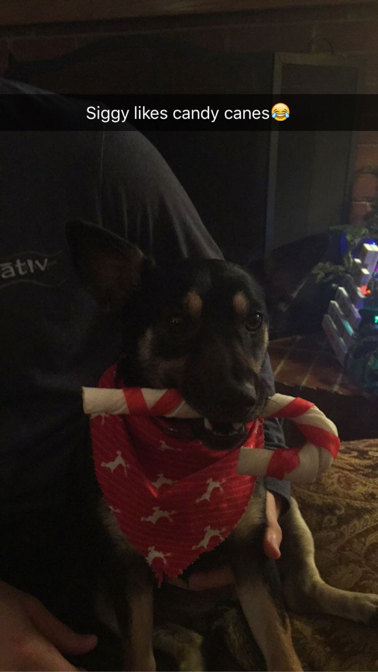 funny dog holding a big candy cane