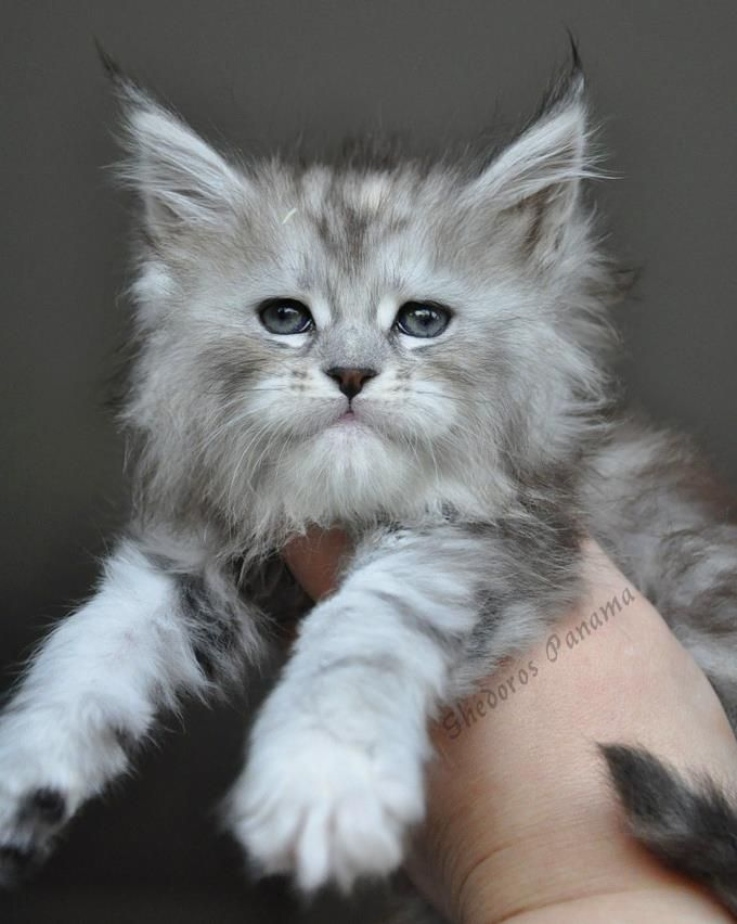 (8) Shedoros Maine Coon Cattery                                                                                                                                                      More