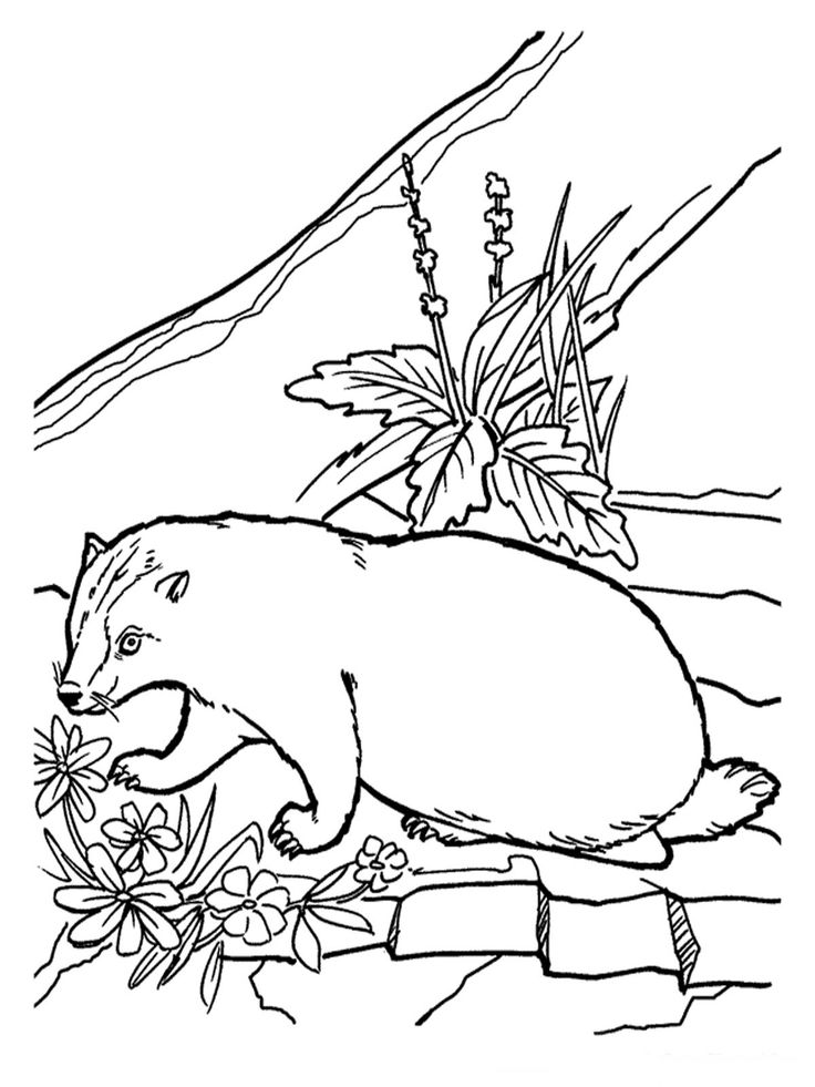 Realistic Coloring Pages of Animals | Badger Coloring Pages Realistic | Realistic Coloring Pages