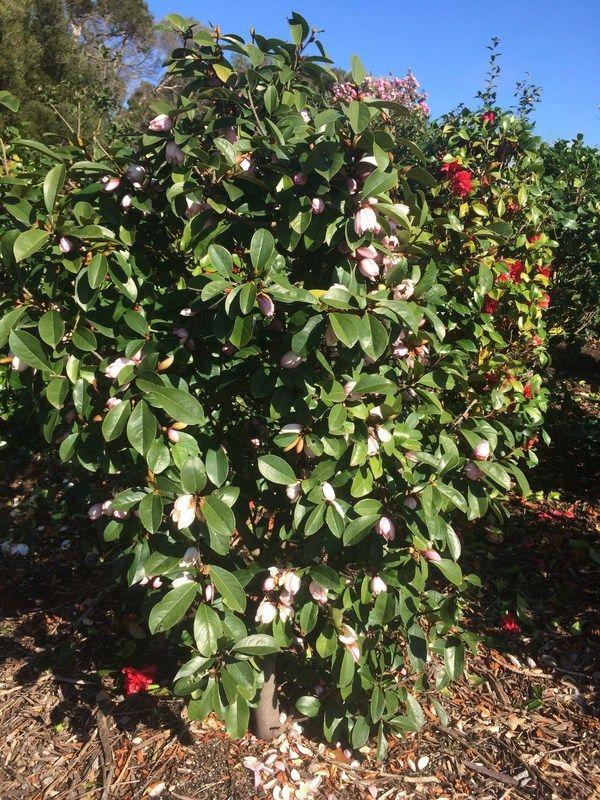 Magnolia 'Fairy Blush' pbr — Warners Nurseries