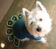 Peacock Halloween costume for puppy