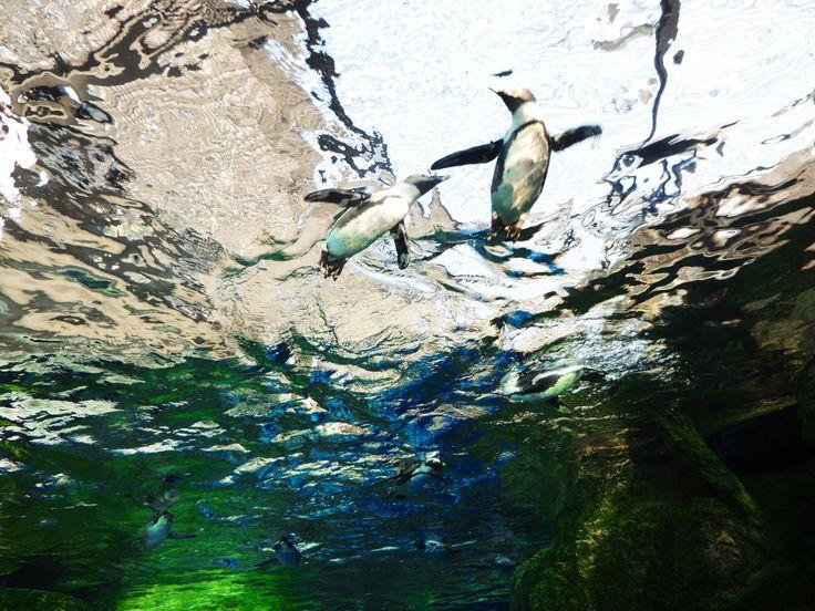 京都水族館のペンギンたち。  #京都 #水族館 #ペンギン