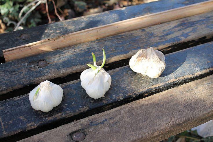 Ortolano a 30 anni: La semina dell'aglio