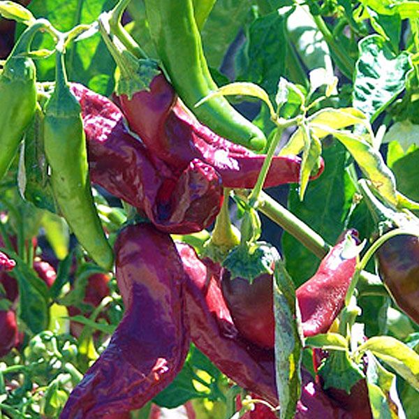 NuMex R. Naky. 250 - 750 Scoville Units. Capsicum annuum. The NuMex R Naky chile is an Anaheim-type hybrid created by Dr. Nakayama of New Mexico State University in 1985 which resulted it cross breeding between 'Rio Grande 21', an early maturing native type, 'New Mexico 6-4', and a Bulgarian paprika. Pepper cultivars developed at the New Mexico State University carry the designation 'NuMex'.