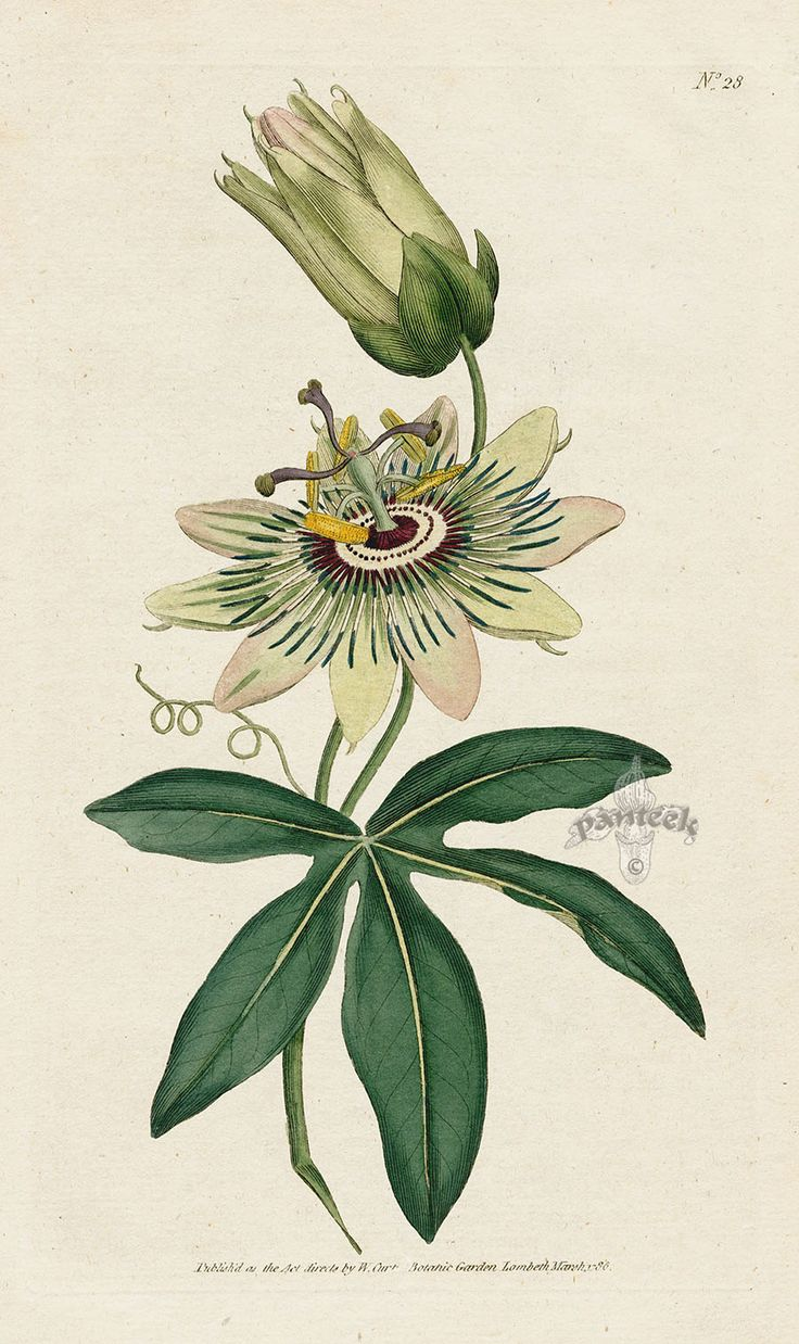 Passiflora coerulea. Common Passion-Flower. from William Curtis Botanical Magazine 1st Edition Prints Vol 1-6 1787