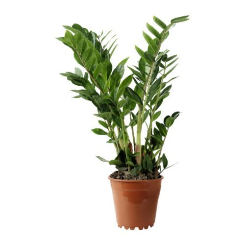"""Zamioculcas Zamifolia or ZZ (office plant) - indoor use out of direct sunlight, water sparingly, 6"""" pot, fertilize monthly only in summer (50% concentration)"""