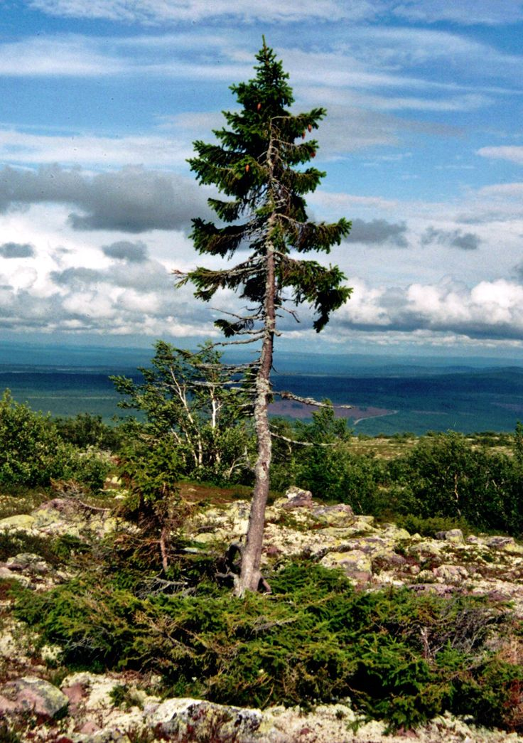 Old Tjikko is the world's oldest living individual clonal tree. A 9,550 year old Norway Spruce tree, located on Fulufjället Mountain of Dalarna province in Sweden.