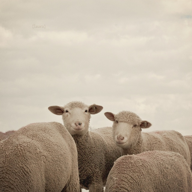 Smiling sheep, by Laura L. Ruth