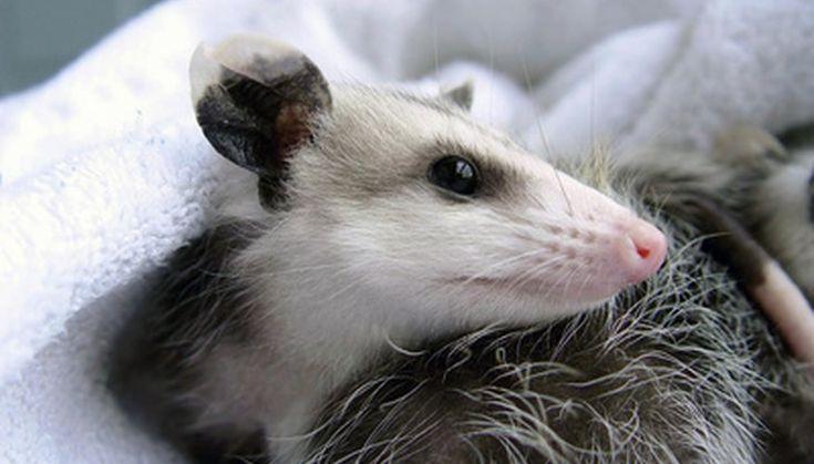 How To Build A Possum House In 2020 Possum Baby Possum