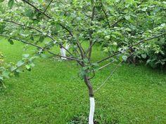Способы заставить деревья плодоносить быстрее Многие сорта этой…