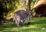 Qué son los marsupiales?