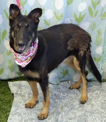 Chloe is an adoptable German Shepherd Dog searching for a forever family near Wenatchee, WA. Use Petfinder to find adoptable pets in your area.