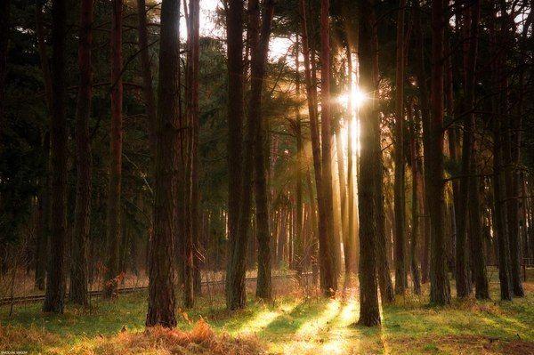Балтийский лес Калининградская область, Россия, фотография, пейзаж, лесной пейзаж, лето, солнце, Природа, длиннопост