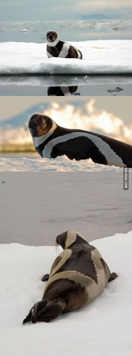 Here's A Rare Arctic Ribbon Seal