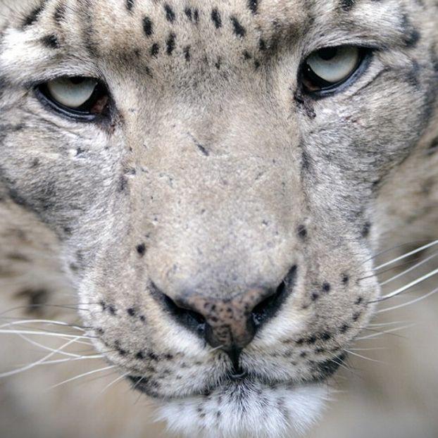 """Un leopardo delle nevi di nome """"Nima"""" presso lo zoo di Ústí nad Labem, nella Repubblica Ceca"""