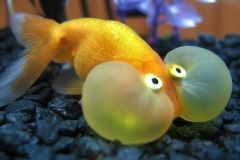 Spotted in Chinatown: balloon-eyed goldfish for sale.  Crazles.