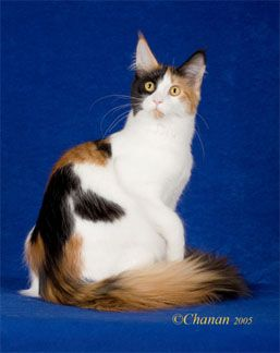 #MaineCoon #Solid #TortoiseshellAndWhite QGC Javacats Dyna Glide of Mymains