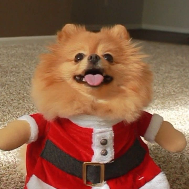 Santa Claus Dog Cute Omg Daily Pomeranian Trending