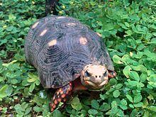 Chelonis carbonaria tortuga de las patas rojas, viven en Sudamérica desde Panama hasta brasil. El caparazón mide unos 30 cm.