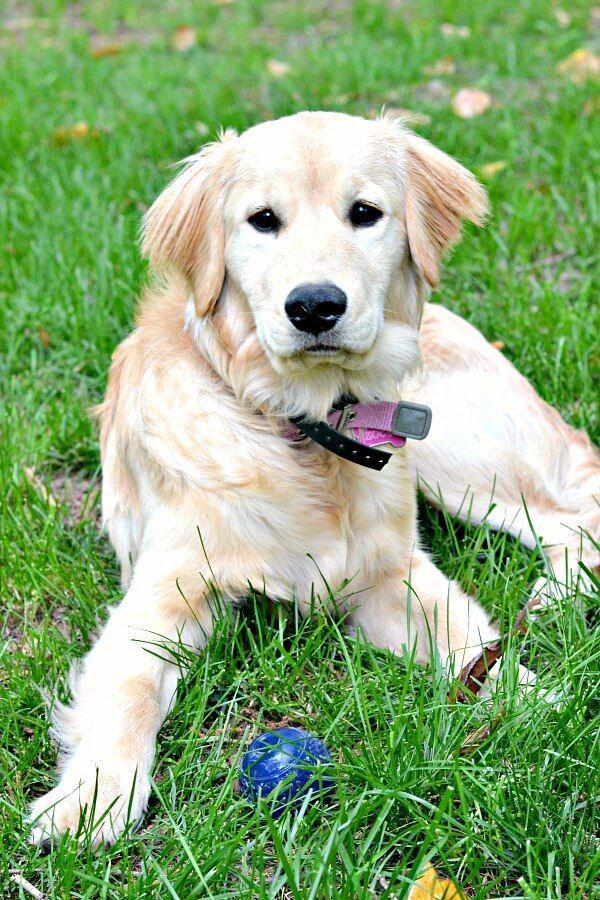 My Top 10 Tips For Raising A Golden Retriever Puppy Old Golden