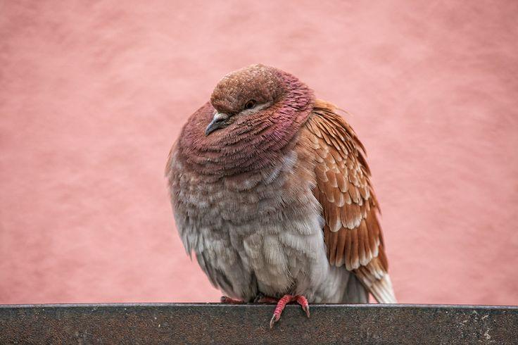 funny pigeon