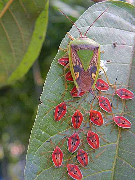 """A """"giant shield bug"""" (Tessaratomidae) and her brood of nymphs.   Photo by S Frazier near Jayapura Indonisia."""
