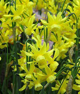 Daffodil, Hawera ,
