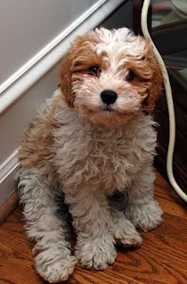 #maltipoo I really like the looks of this dog, so cute!