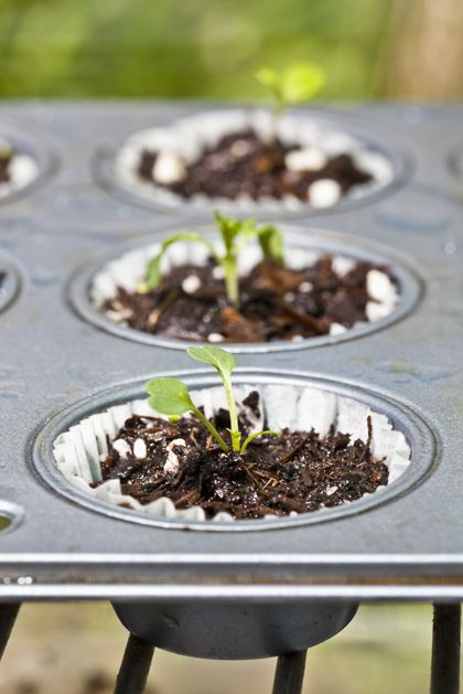Seeds started in a cupcake tin, perfect. Once plants have germinated place the paper & plant in soil.