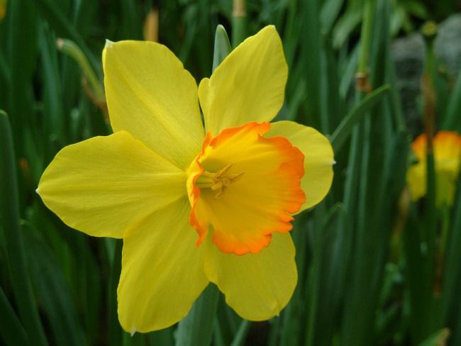 9 Fun Facts About Daffodils Care2 Healthy Living Daffodils Winter Garden Spring Garden