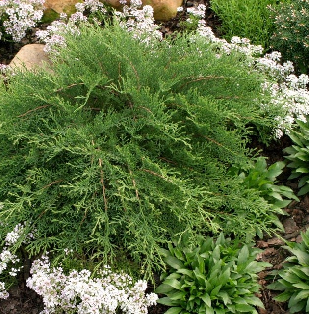 microbiota celtic pride from proven winners low growing conifer with soft feathery - Shade Garden Ideas Zone 9