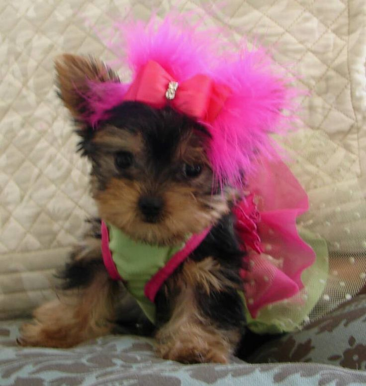 Pin By Jacey Keyton On Cute Puppies With Images Yorkie Puppy