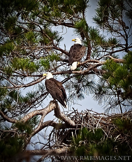 Bald Eagles...in Baytown, TX. My daddy would have been amazed.