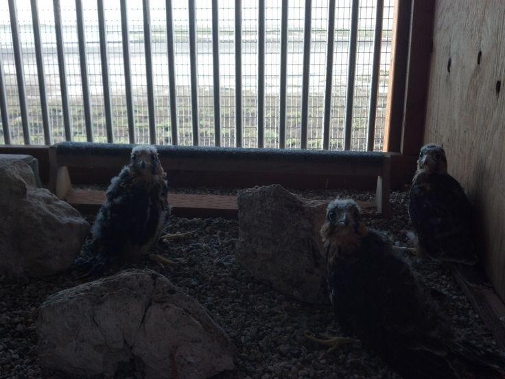 The Peregrine Fund, Boise Idaho- Bird of Prey